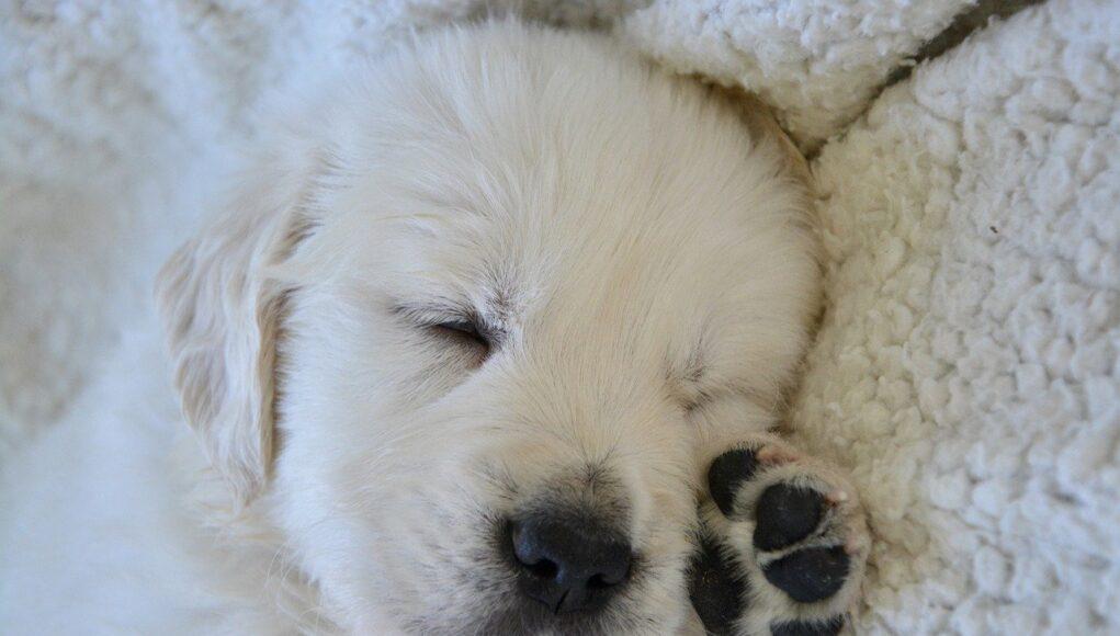 golden-retriever-puppy sleeping- how much do puppies sleep cover