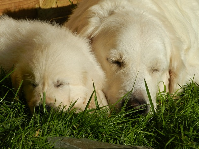 golden retriever mix breed dogs sleeping in the grass