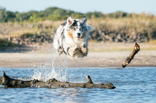 A dog rinning in water and jumping after a stick