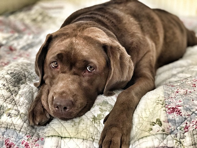 A sad looking brown puppy lying on a bed.