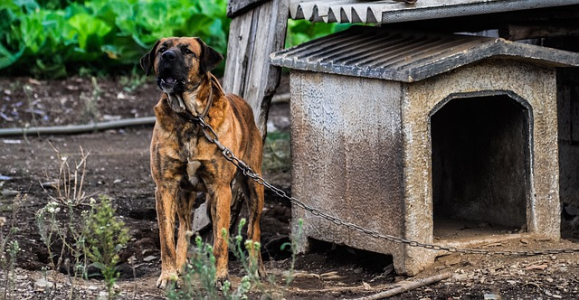 A chained dog barking in from of its dog house