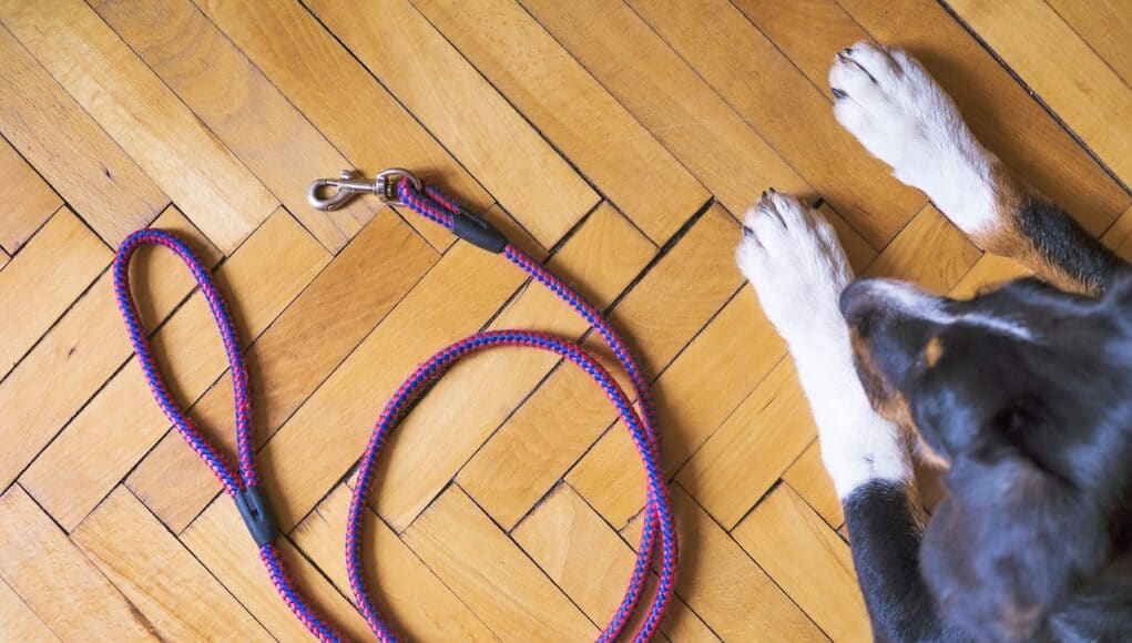 A dog lying on a wooden floor next to a leash.