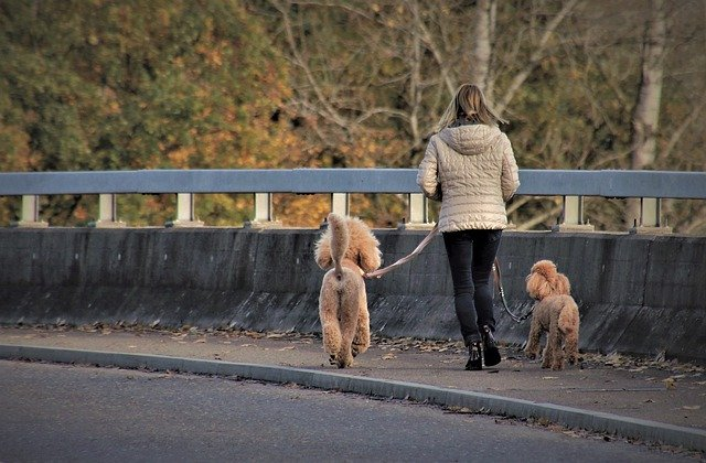 A woman walking two poodles on a leash on the side of a road.