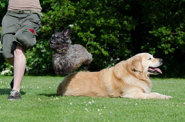 A golder Retriever lying on the ground and a small dog jumping over it.