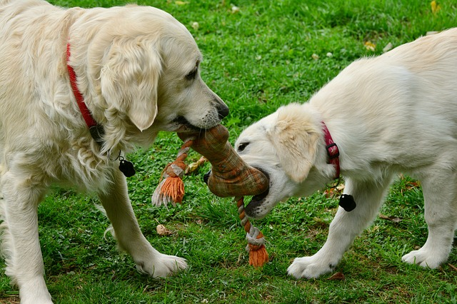 two golden retriever dogs playing in a garden