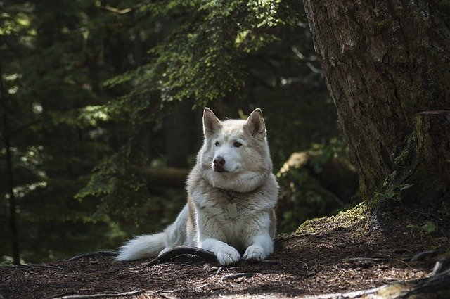 A white Siberian Husky lying on the ground in a forest.