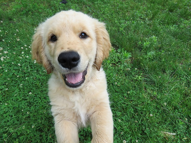 young golden retriever smiling in the grass