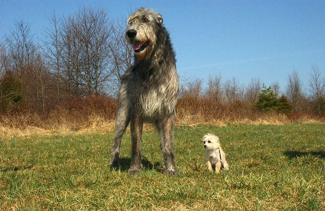 Two dogs standing next to each other in a field. One is a large and the other one is a mini dog breed.