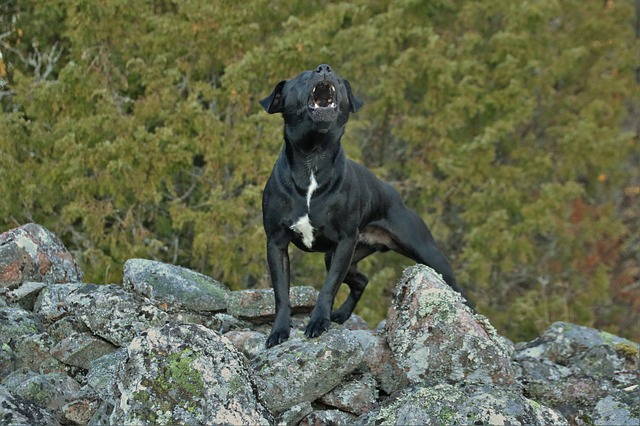 A black dog standing on rocks and barking