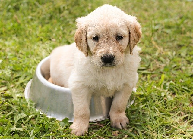 golden retriever mixed puppy sitting in a bowl