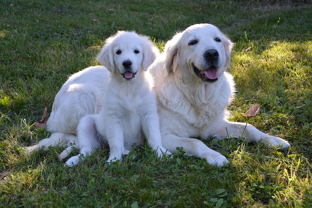 mom and puppy golden retrievers sitting in the grass