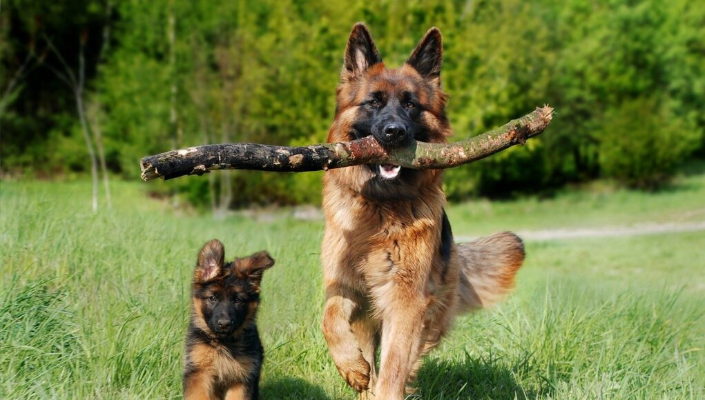 Two German Shephard dogs running happily. One is a puppy, the other one an adult. The big one is carring a stick.