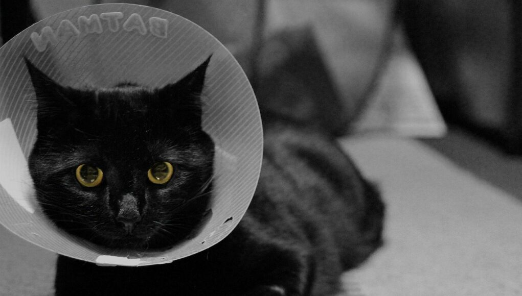 Black cat with a white cone of shame looking into the camera while lying down