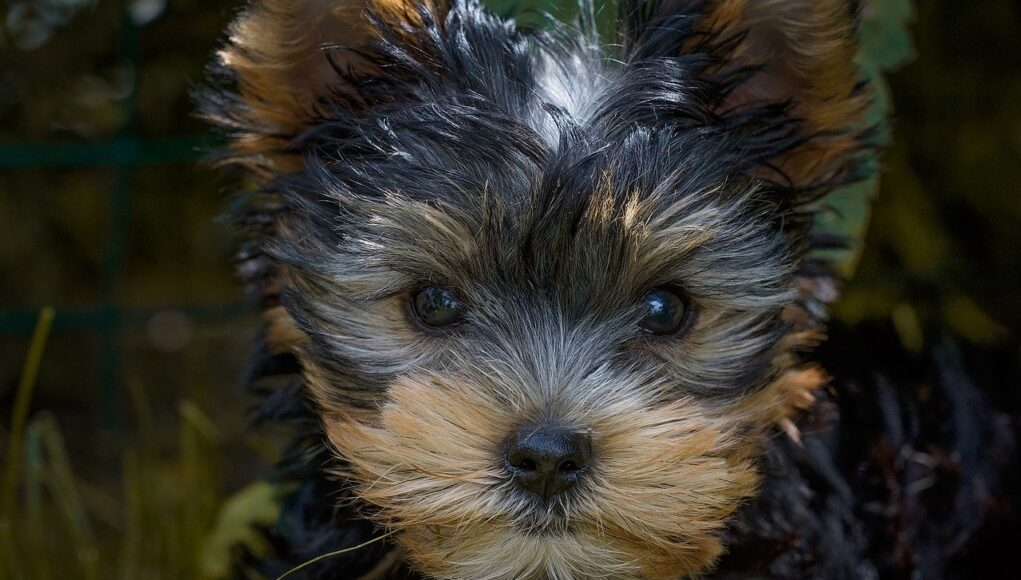 baby teacup yorkie cover