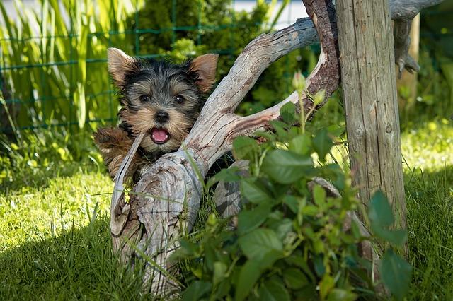 mini yorkie in the garden