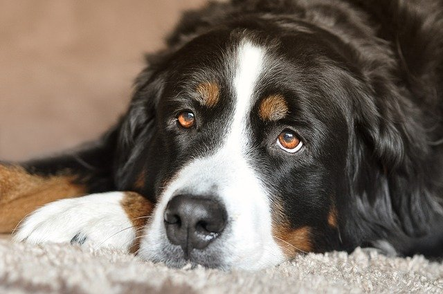 Black and white large dog lying down with its face on its paws looking into the distance