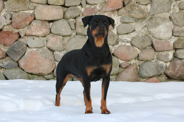 young rottweiler in perfect shape on the snow