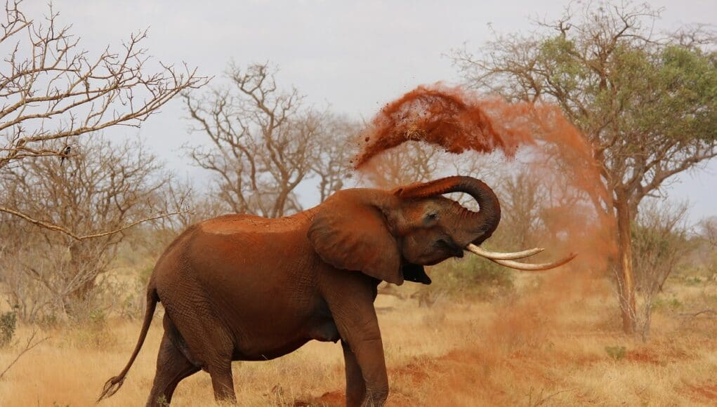 elephant throwing up red sand over its body