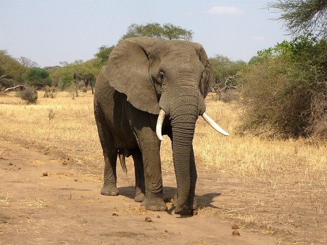 Large adult elephant walking in the sun on dry grass towards the camera
