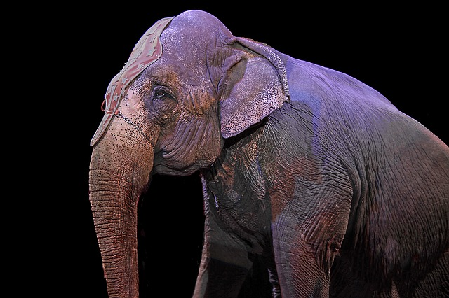 """Elephant on the stage - Circus Handlers Use """"Wonder Dust"""" To Hide Elephant Injuries."""