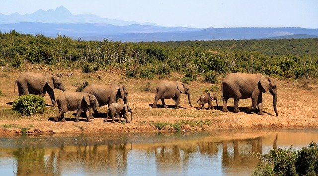 Herd of elephants walking next to a watering hole on a hot day
