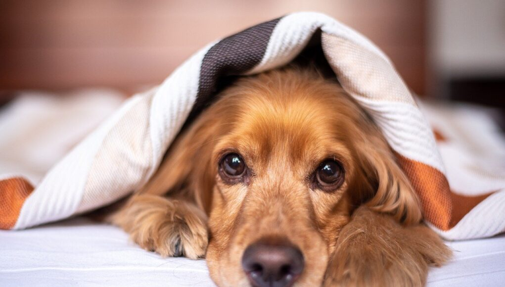 English Cocker Spanie dog lying under a blanket