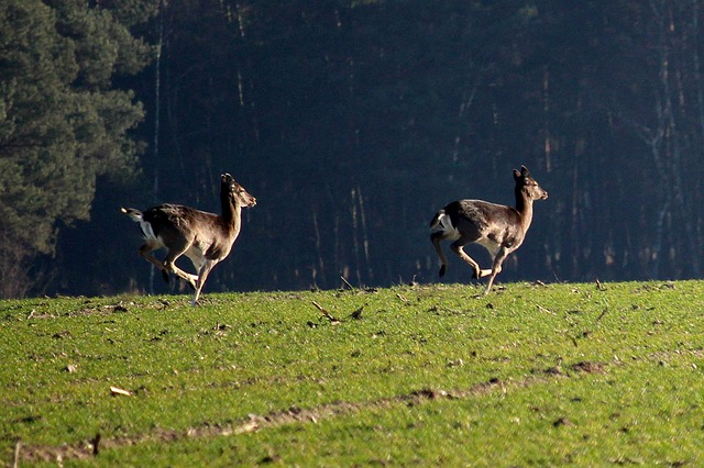 two small deer jumping together across a green field