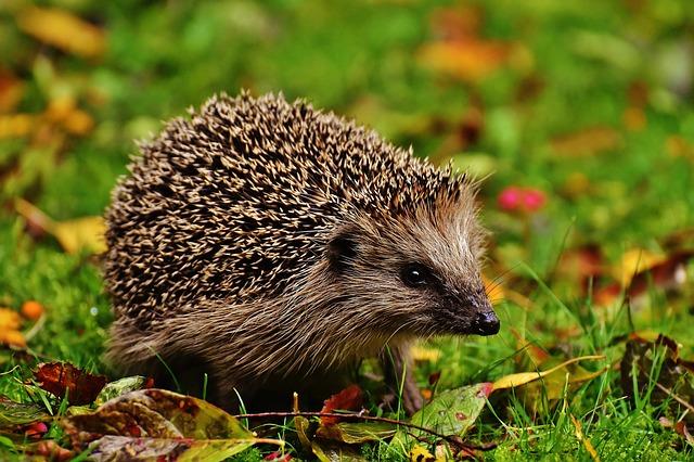 Tiny hedgehog sitting on green grass