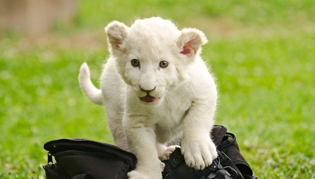 most expensive pets cover - white lion cub