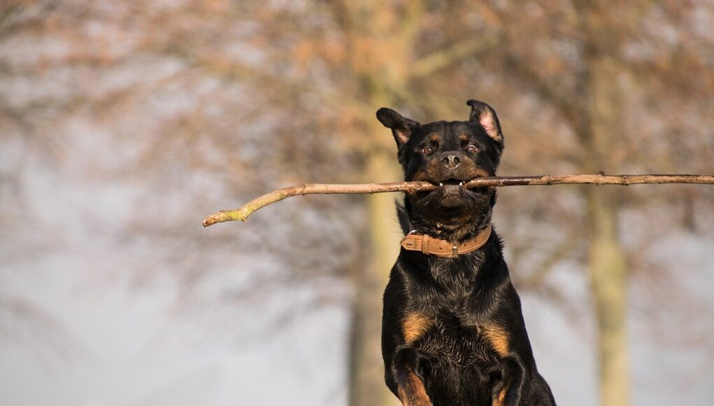 rottweiler breed cover