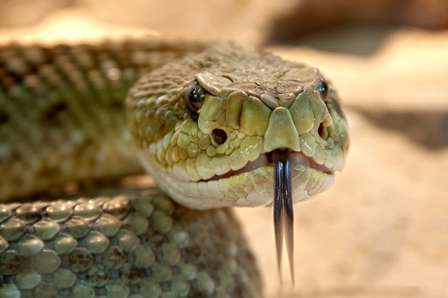 Up close snake looking into the camera with tongue sticking out