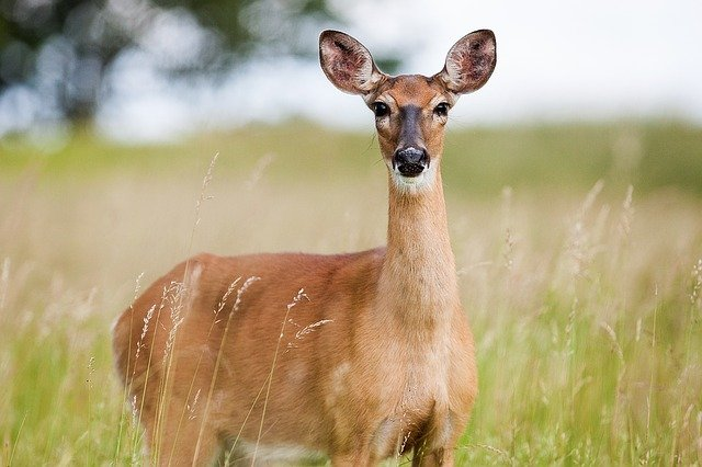 female deer looking into the camera while standing in a green field