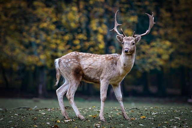 Deer with large antlers looking into the camera