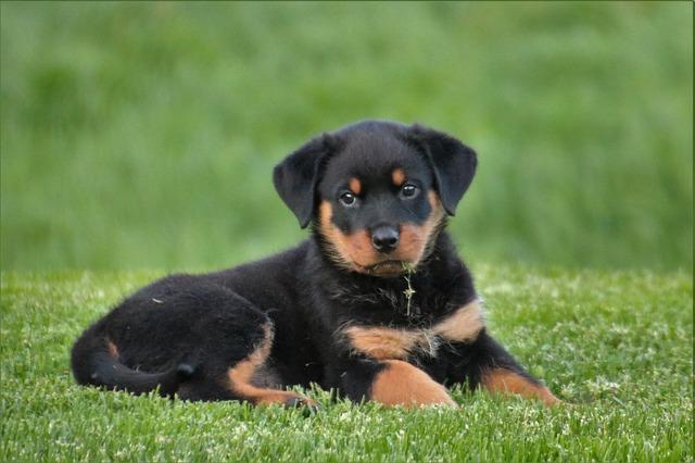 rottweiler puppy on the grass