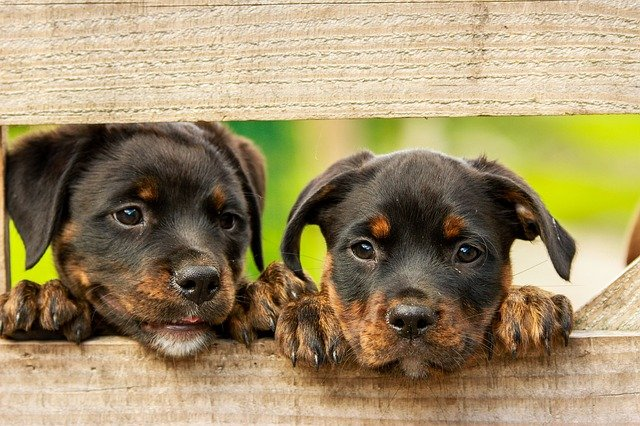Two Rottweiler puppies looking at the camera through a wooden fence