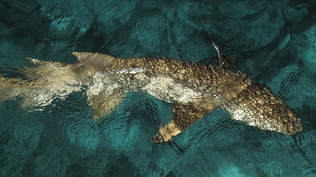 Brown shark just under the surface of the water with a fishing line hooked into it's back