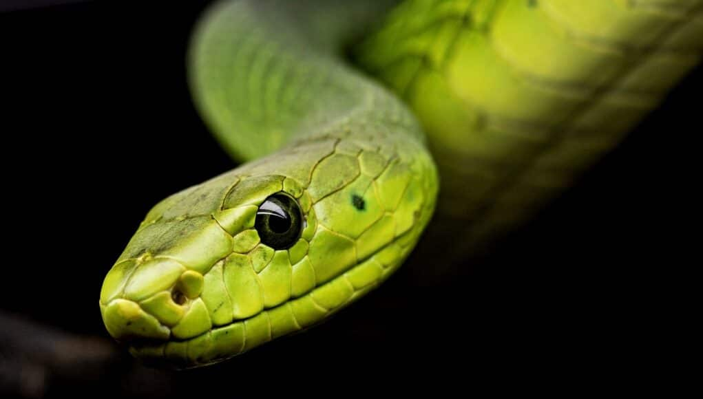 Head of a bright green snake with black eyes looking into the camera
