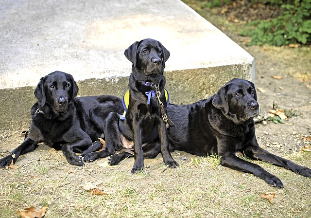 Three black retrievers sitting together, the middle dog has a service vest on