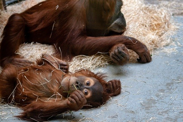 Two primates lying on the floor with some straw, one looking up at the camera blankly