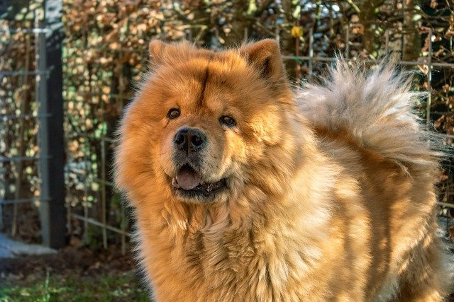 chow chow dog in the woods