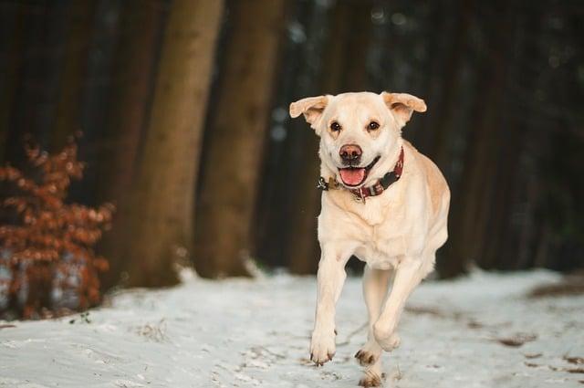 mini labrador running in the snow