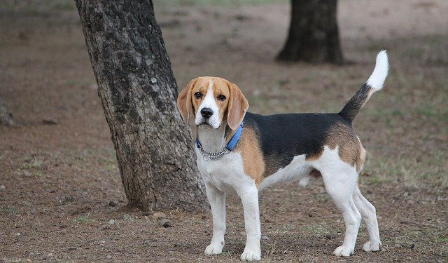 beagle in the woods