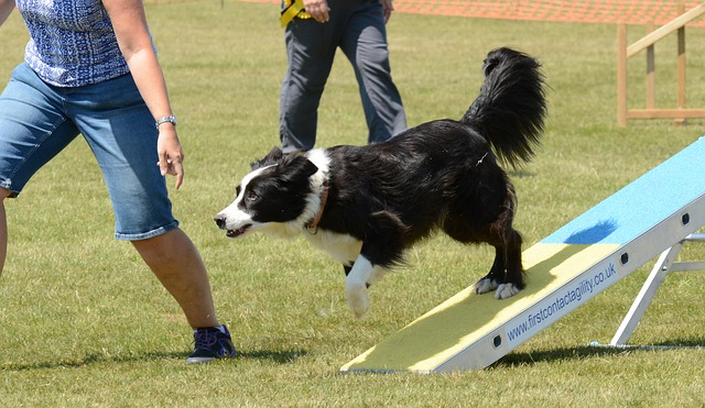 Border collie led down a ramp on green grass