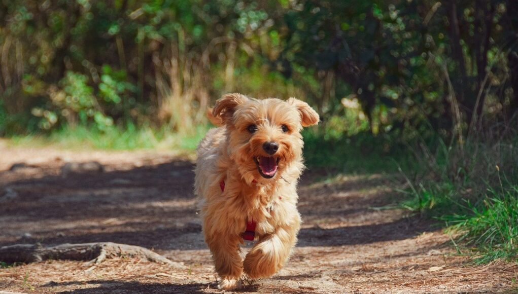 terrier mix puppy running in the forest