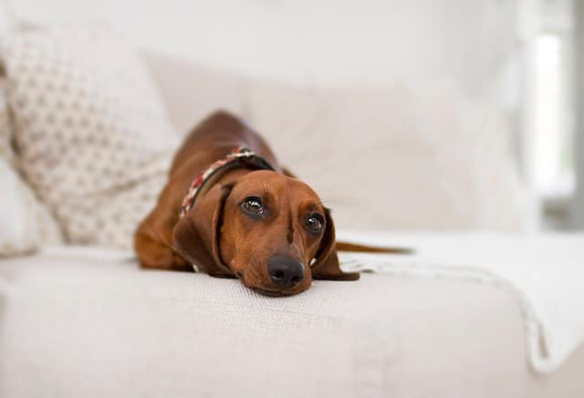 dog lying on a couch looking at the camera