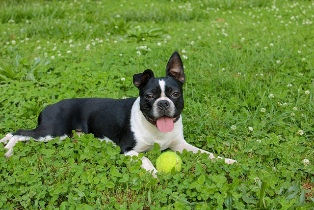 boston terrier dog playing with a ball in the grass