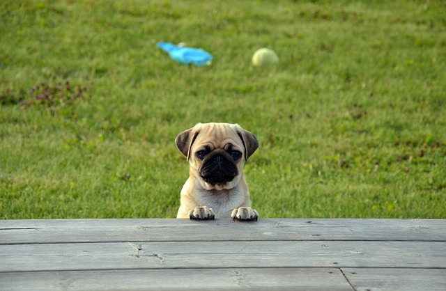 young pug puppy looking at the camera over a wooden board