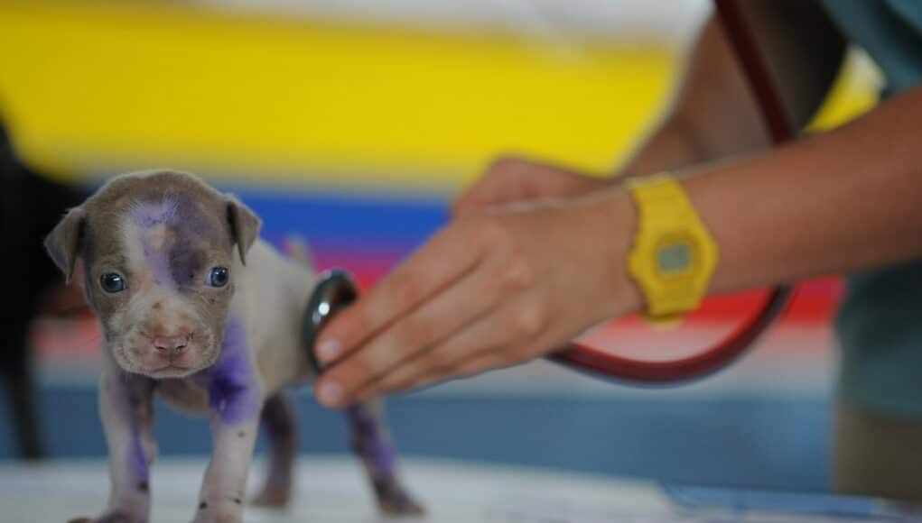 veterinarian statistics cover - veterinarian holding a stethoscope and a very young puppy