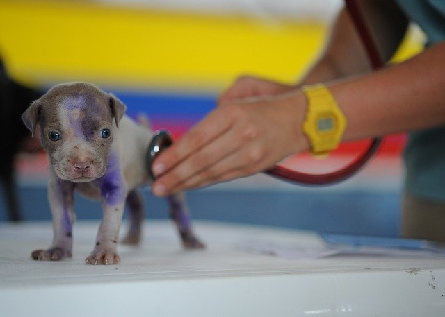 Very small puppy being checked with a stethoscope
