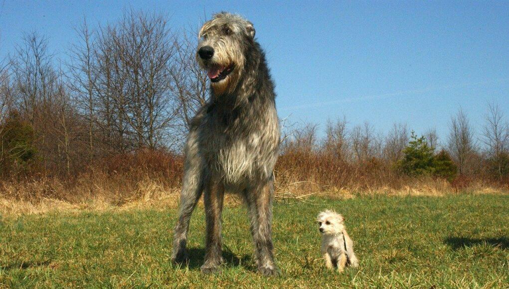 Large Irish Wolfhound standing on grass next to a tiny white dog